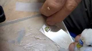 Bird Care How to Prepare a Wet Faecal Smear for Microscopic Examination