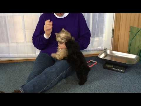 Ellie's schnoodle puppies 3-26-18