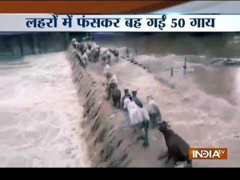 Chhattisgarh: 50 cows washed away into river while crossing a flooded bridge in Bilaspur