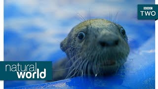 Baby otter swimming lessons - Natural World: Supercharged Otters | Preview - BBC Two