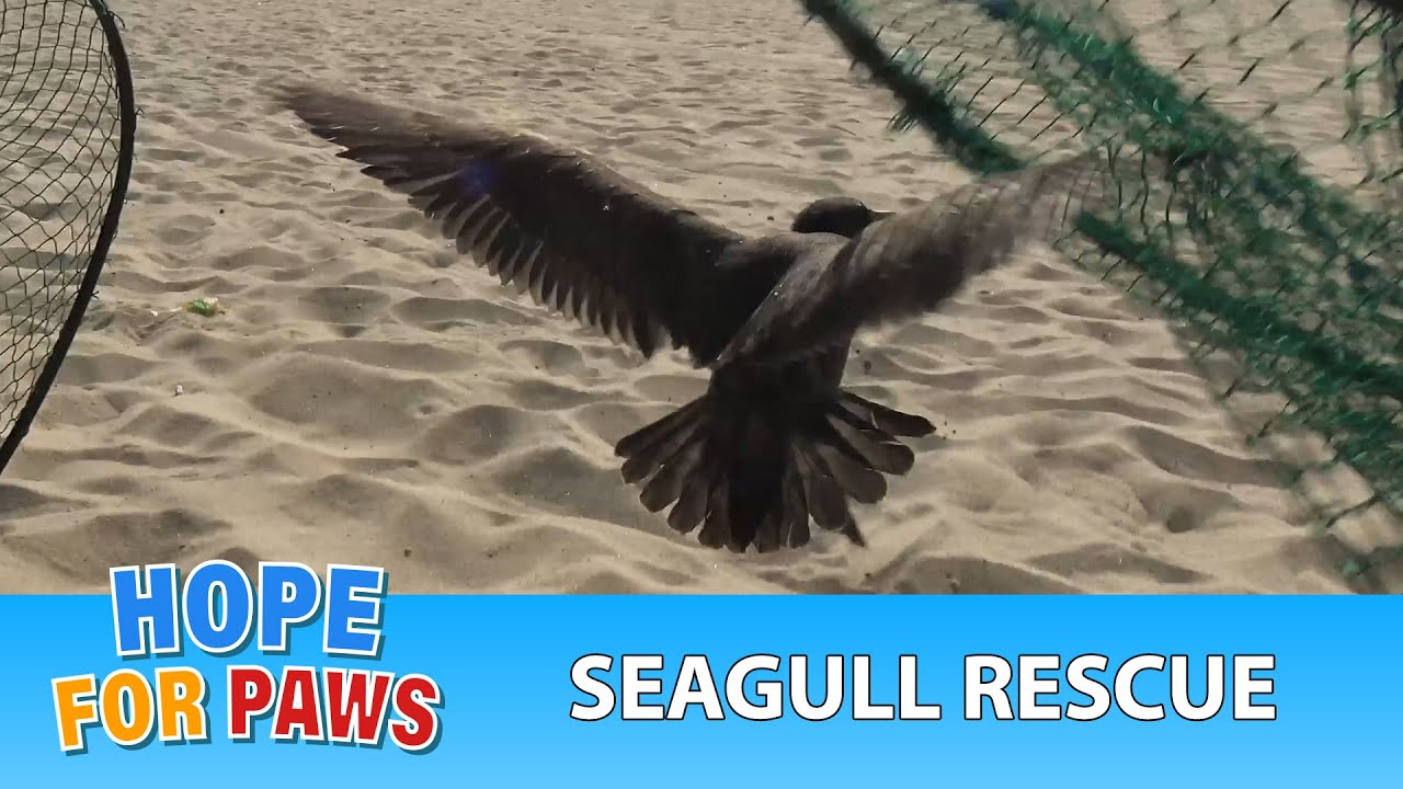 seagull-tangled-in-fishing-line-and-a-rubber-around-his-neck-is-rescued