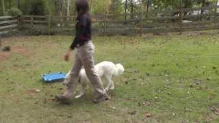 Corbett Ride & Train Program Day 13: Off-leash Recall At Great Distance, Heel, Sit