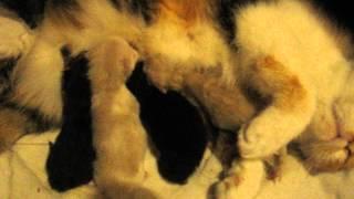 16 мая в питомнике родились котята, персы и экзоты!