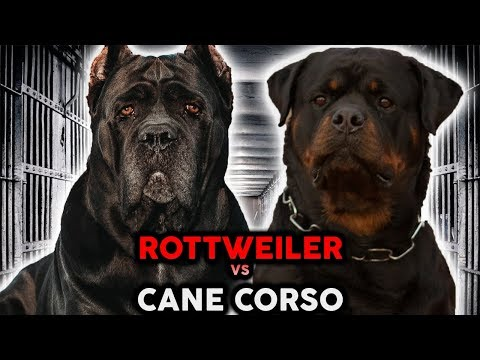 CANE CORSO VS ROTTWEILER! The Best Guard Dog Breed!