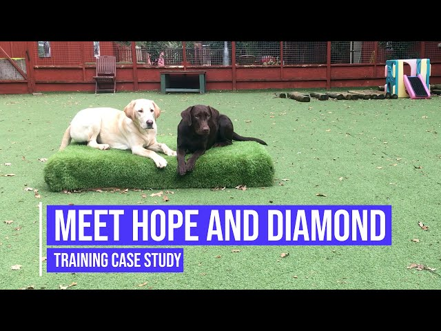 OBEDIENCE and HEELWORK for two Labrador siblings