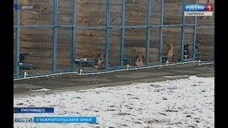 В Пятигорске будут стерилизовать бездомных собак