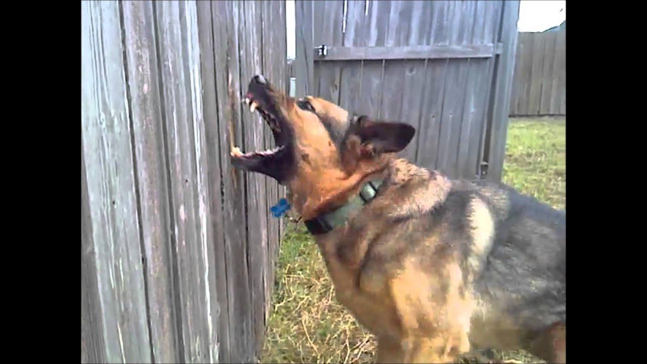 German Shepherd Breaks Fence Youtube