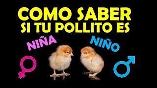 como SABER si es POLLITO o POLLITA, macho o hembra en casa - sexar pollitos bebes