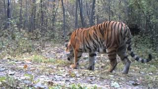 北東アジアの生態系の頂点に立つ、トラの亜種であるシベリアトラ(アム...