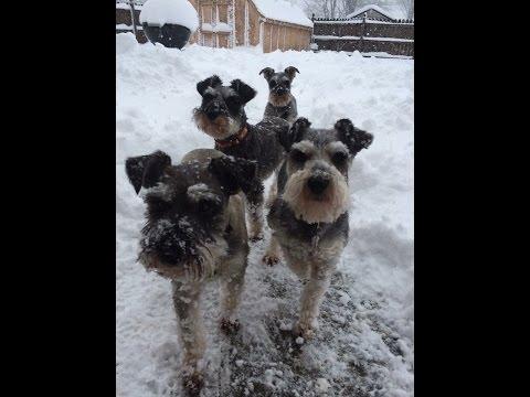Another Snow Storm/Snowy Schnauzers/HeartGuard For Dogs/SchnauzerMom