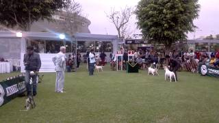 "Inca's Dog Show """"bull Terrier"""" Kennel Club Peruano 30/11/2013"
