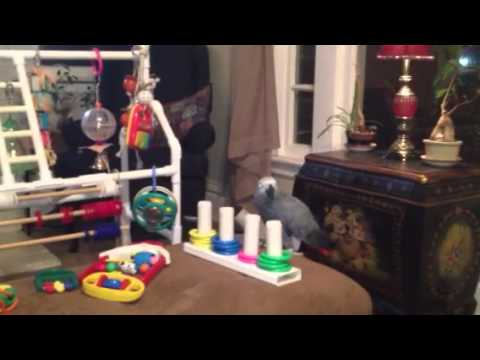 Congo Grey Jala and her toys video 2