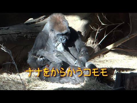 Komomo tease Toto and NanaGorilla at Ueno Zoo