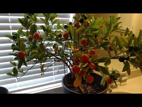 My Indoor Orange Tree UPDATE