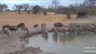 The herds hit town! Nkorho Bush Lodge. 20 August 2019
