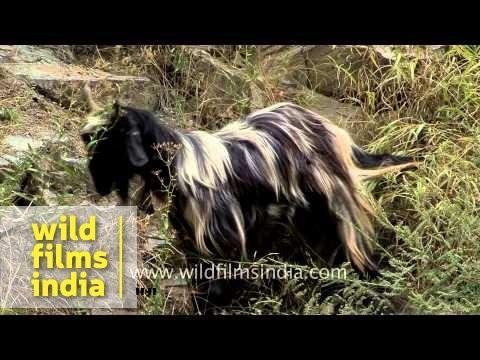 Changthangi or pashmina goat in Kashmir