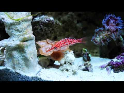 Species Spotlight Season 2 - The (Atlanta) Longnose Hawkfish - Episode 10