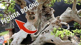 Bonsai Serut Disini Bikin Gak Mau Pulang - Festival Bonsai Indonesia