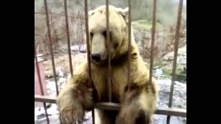 Медведь стесняется  Смешное видео