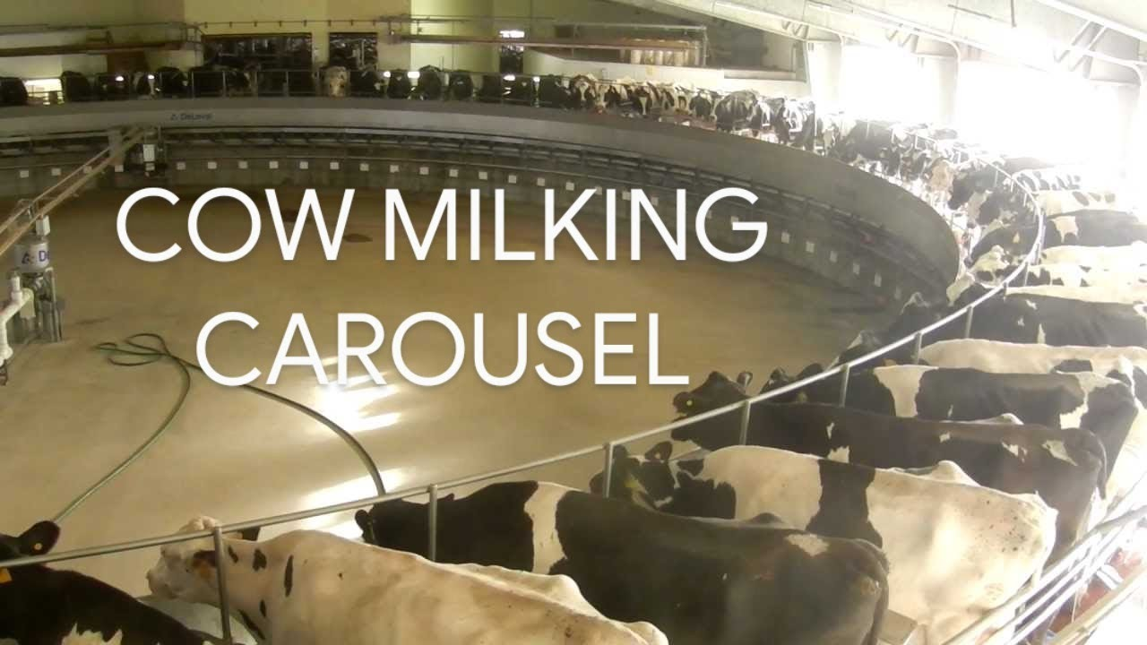 Modern Dairy Farm High Tech Milking Cows On Circular Carousel