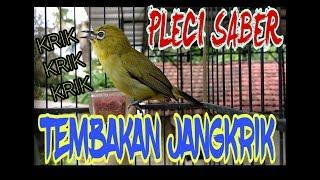 """Gambar cover Pleci """"SABER"""" Pacitan Tembakan Jangkrik"""