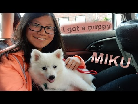 I GOT A PUPPY!! - Miku the 8 week old Mittelspitz white #3