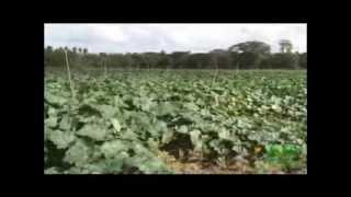 BARBARY PLANTE en el Cultivo de ají y ahuyama