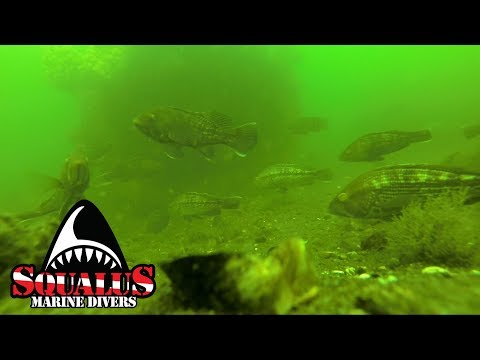 FISHCAM - THE LOCAL FISH OF STRATFORD CT - SQUALUS MARINE DIVERS