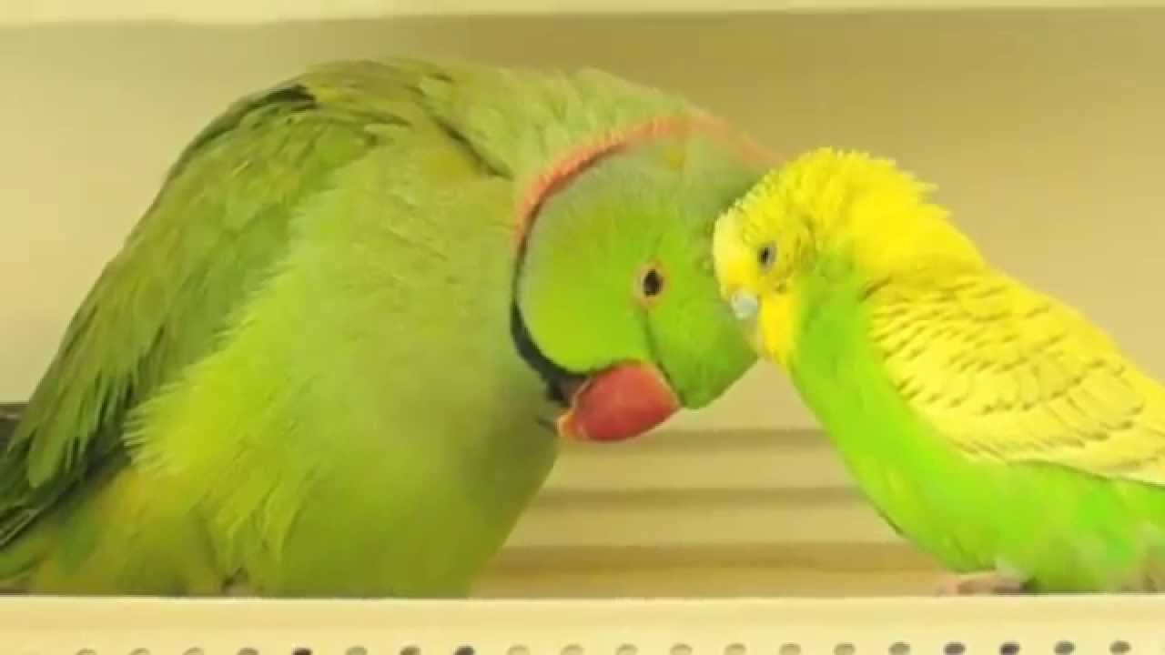 parakeet and indian ringneck in love.. - youtube