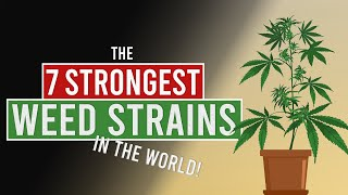 The 7 STRONGEST WEED Strains in the World!