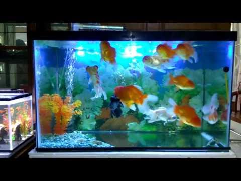 Cara memelihara ikan mas koki dalam aquarium