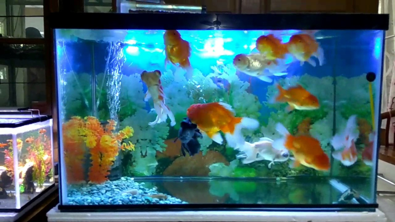 Cara memelihara ikan mas koki dalam aquarium - YouTube