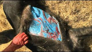 Wild Pig with Blue Fat Found Near Northern California Ranch