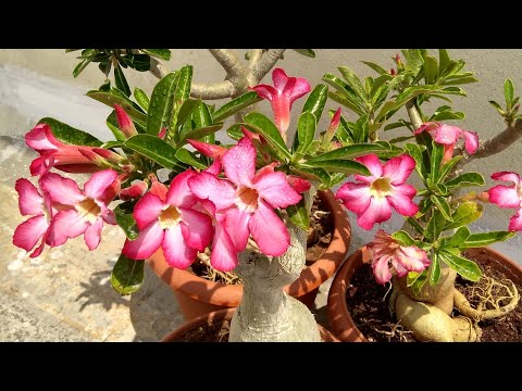 Adenium full of