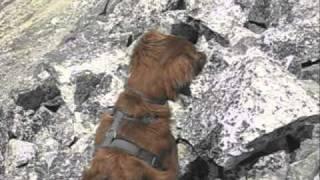 Golden Retriever Puppy Climbs Colorado 14'er