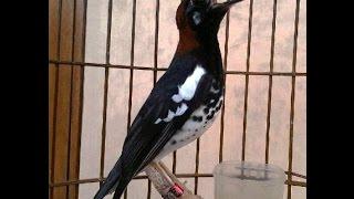 Suara Nyanyian Ocehan Kicauan Burung PUNGLOR KEMBANG | High Sound Quality
