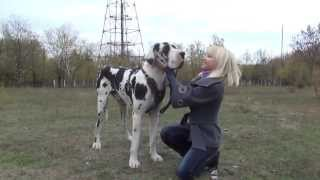 Super Huge Great Dane Dog In A Сhic Leather Harness