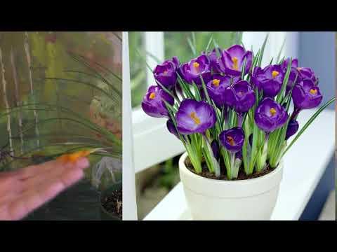 Крокусы krokus уход и размножение. Шафран лечебные свойства. Лекарственные растения дома