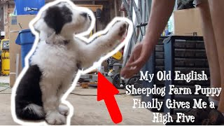 My Old English Sheepdog Farm Puppy Finally Gives Me a High Five