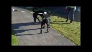 Star-black Labrador Retriever/rottweiler