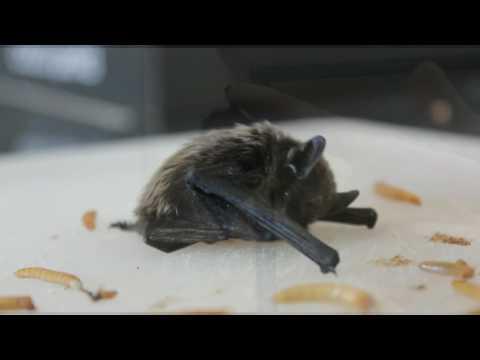 Pipistrello di savi