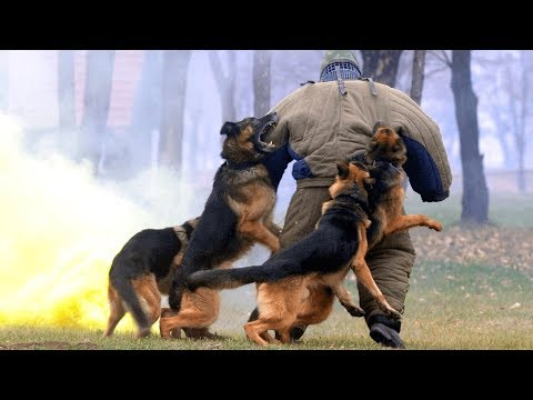 german-shepherd-dogs---ultimate-disciplined-powerful-breed