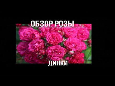 Вопрос: Где можно выращивать мускусные розы?