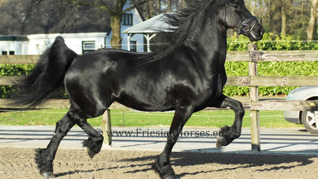Ride The Pony >> Black Friesian horse (for sale). Beautiful mare easy to ...