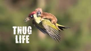 Weasel Jumps On Woodpecker Back!