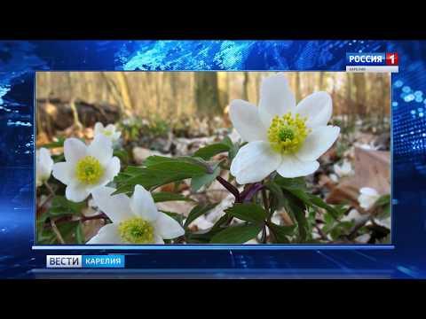 Редкий цветок обнаружили в Водлозерском парке