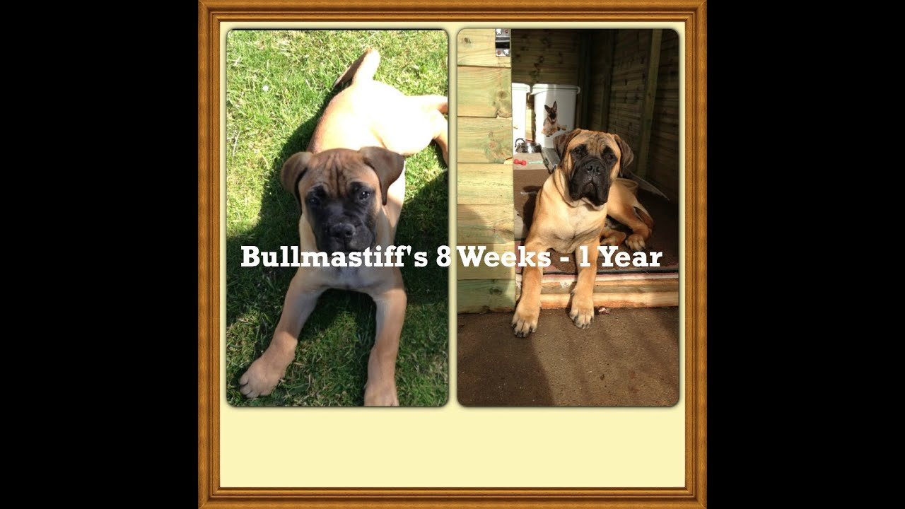 Bullmastiffs 8 Week 1 Year Picture Video Youtube