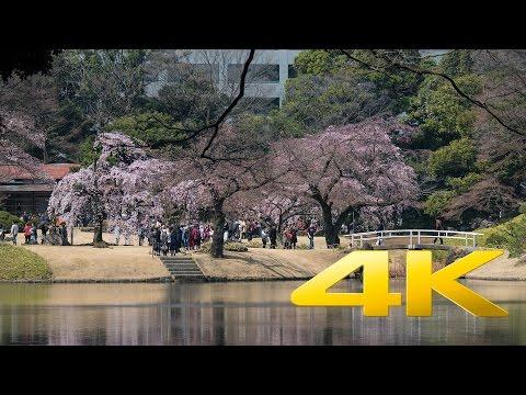 First Sakura at Koishikawa Korakuen Garden - Tokyo - 小石川後楽園 - 4K Ultra HD 🌸 🇯🇵