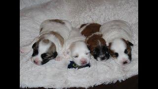 Coton Puppies For Sale - Vivian 7/14/20