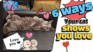 6 ways your cat shows love  Korat cat love you!